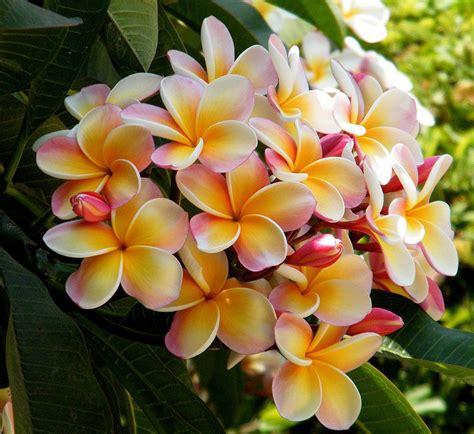 plumeria tree florida if i still lived in florida i would have frangipani trees