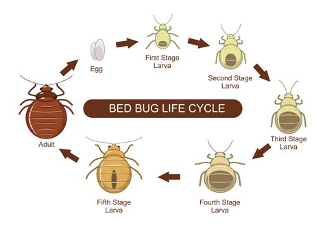 bed bug reproduction rate bed bug reproduction stink bug metamorphosis pictures to pin on pinterest