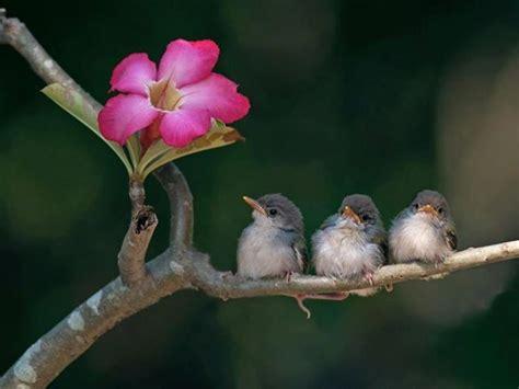 beberapa hal penting dalam penangkaran ciblek klub burung