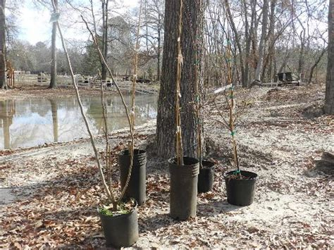 Pioneer Woman Magazine Giveaway - planting fruit and pecan trees the texas pioneer woman blog grit magazine