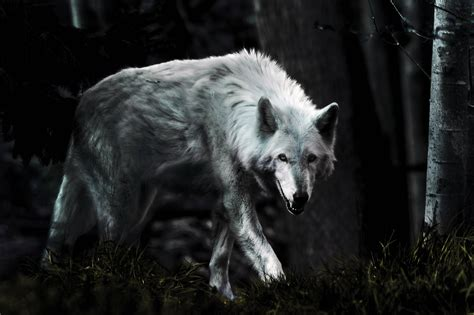 white wolf and black wolf 1600x1200 wallpapers wolf dark wolf wallpapers wallpaper cave