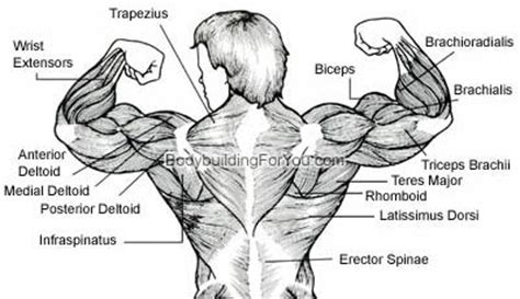 back muscles diagram back exercise latissimus dorsi