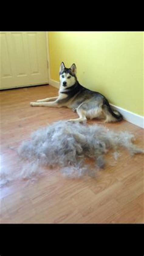 Do Siberian Husky Shed by 1000 Images About Fluffy Friends On Husky