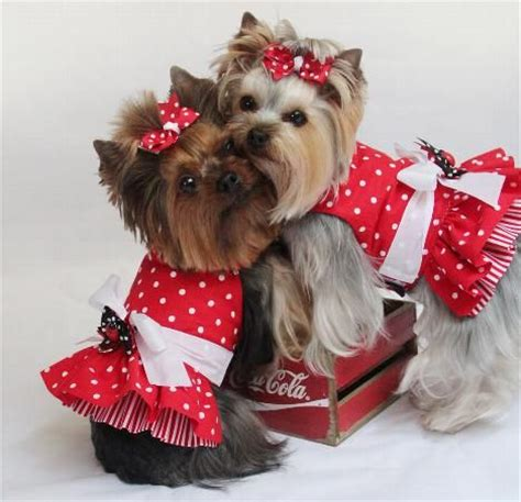 yorkie dresses 403 best images about dressed up yorkie on terrier yorkie