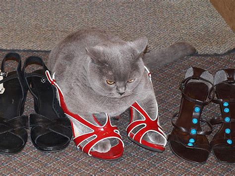 funny cat in shoes if it fits i sits these 21 cats prove that no space is