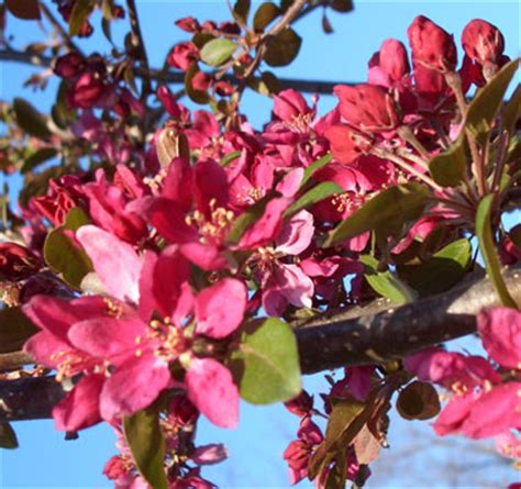 Wedding Bouquet Crabapple Tree by Profusion Improved Crab Apple Trees Chris Bowers