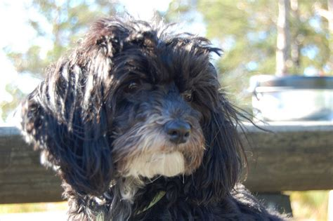 havanese silk havanese the silk breed answers