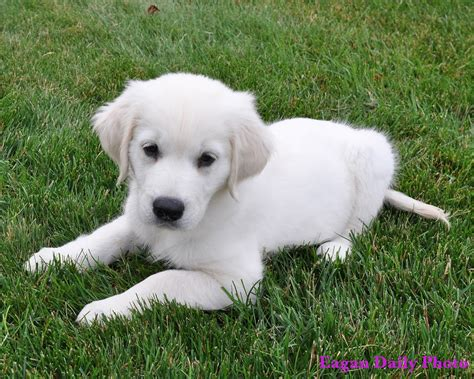 white golden retriever puppies for sale white golden retriever puppies for sale 12 free hd wallpaper dogbreedswallpapers