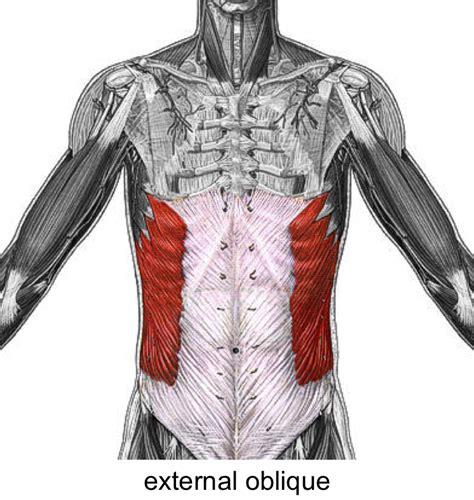 addominali obliqui interni biology 1011 gt marion gt flashcards gt anatomy muscles