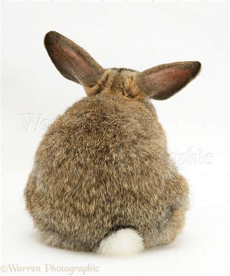 Agouti buck rabbit, back view photo - WP26050