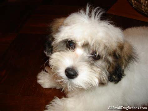 coton de tulear puppies coton de tulear breed breeds picture