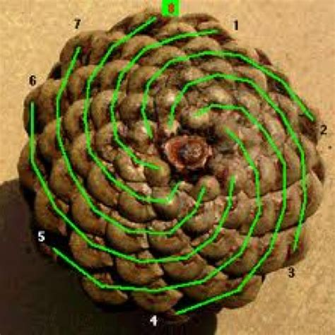 cone rows hair fibonacci sequence in a pine cone synchronicity