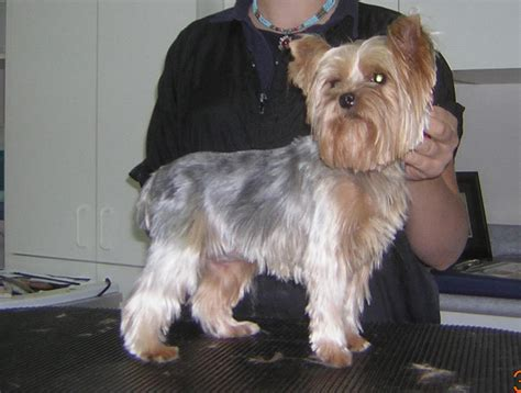 diy yorkie grooming dium yorkie haircut with scissored furnishings and a teddy picmia