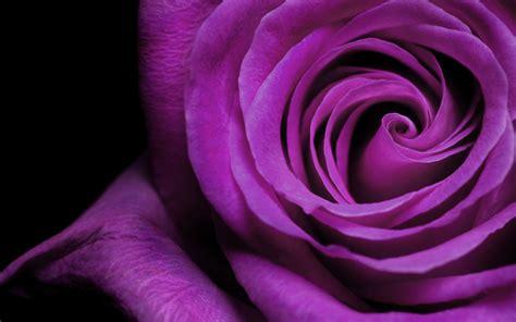 wallpaper flower rose free download rose flower wallpaper free wallpapers hd wallpapers 83151