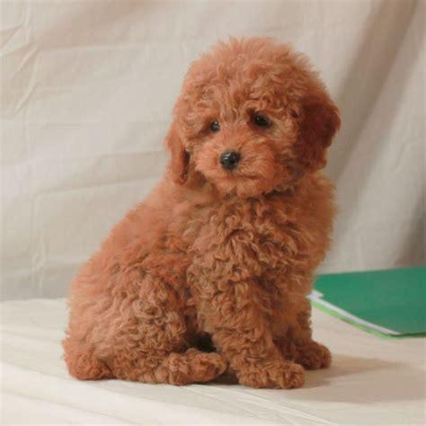 poodle colors apricot mini apricot poodle akc poodles scarlet s fancy poodles