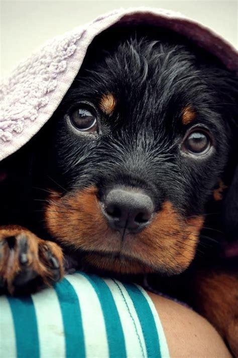 rottweiler doberman puppies 363 best images about mans best friend on lab