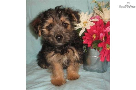 black and yorkie puppies pin black yorkie poo puppies image search results on