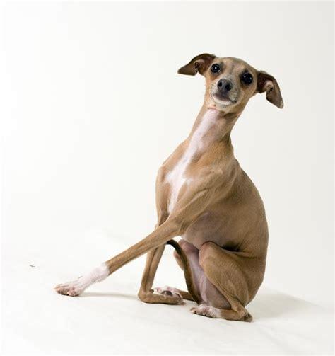 mini greyhound puppies miniature greyhound slideshow