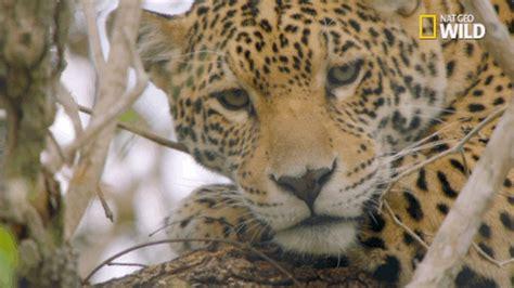 big cat week jaguar supercat gif by nat geo wild find