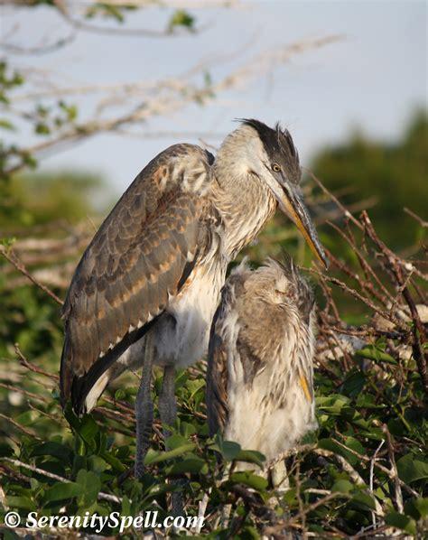 Great Blue Herons Serenity Spell Blue Heron Nh 2