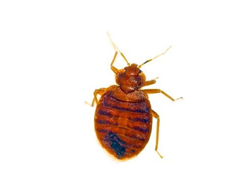 how much does it cost to exterminate bed bugs bed bug pest control cost new jersey bed bug control how
