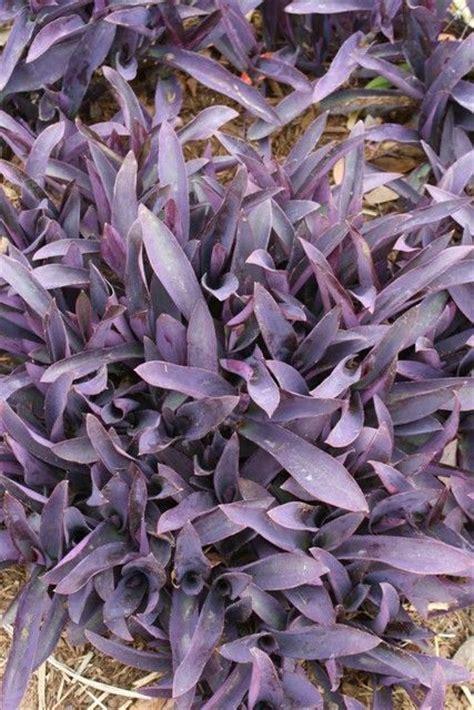 Tanaman Hias Tradescantia Silver 193 best images about color purple on purple