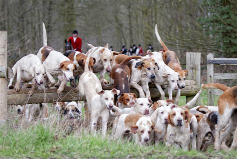 how to a hound to hunt about hounds magazine hounds magazine