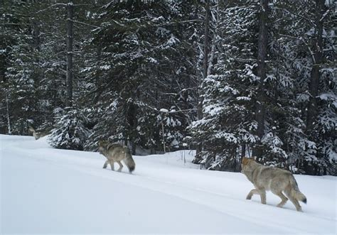 hd trailcam pictures of wolves in winter 17 best images about trail on a deer idaho and the neighborhood