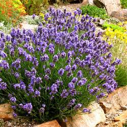 lavender 20 best perennial flowers sunset