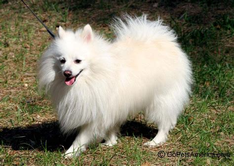 german spitz puppies german spitz gopetsamerica