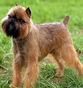 brussels griffon puppies for sale in brussels griffon puppies brussels griffon breed laurietooker