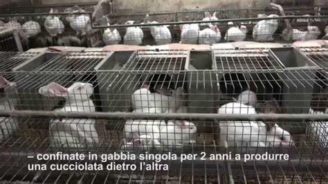 gabbie allevamento conigli inchiesta sugli allevamenti di conigli in europa