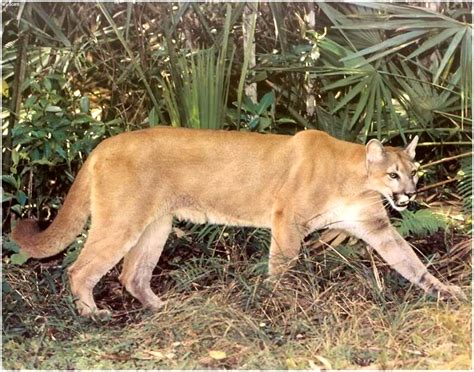 Jaguar In Florida Local Accounts Of The Florida Panther St River