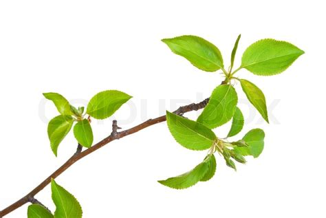 branch apple tree with spring buds isolated on white stock photo colourbox