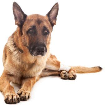 what to give dogs for arthritis health archives k9adviser