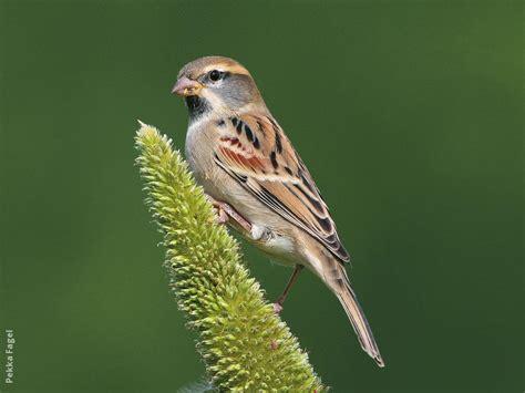 Dead Sea Sparrow Kuwaitbirds Org Dead Sparrow