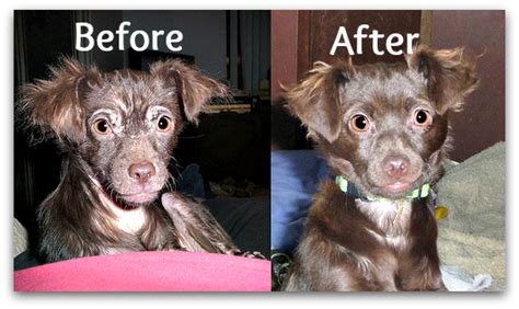 sarcoptic mange in dogs mange in dogs sarcoptic vs demodectic pawsitively pets