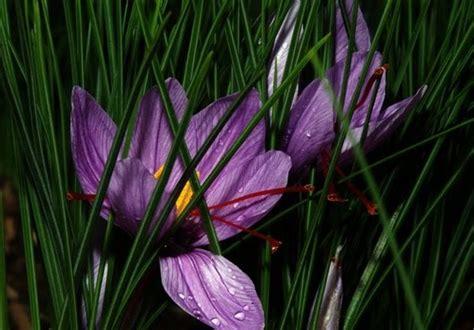 la flor del azafrn 1503953505 cultivo azafran top bulbos de azafran with cultivo azafran great cmo se obtiene el azafrn with