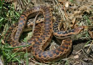Snakes In Commonly Encountered California Snakes