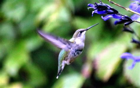 hummingbirds will be back soon garden with diana