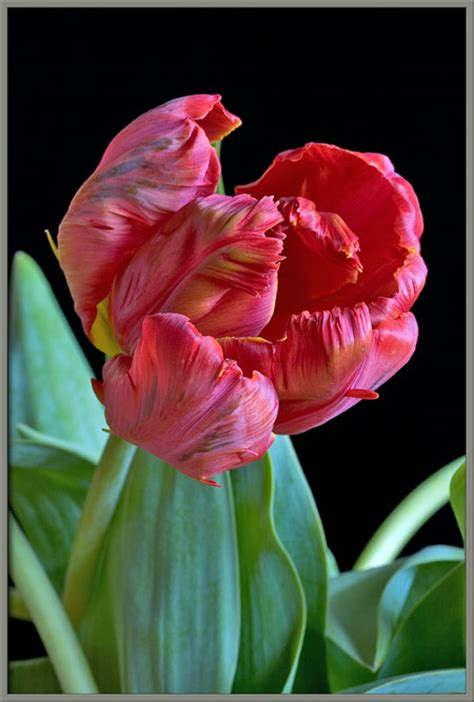 a close up view of two parrot tulips
