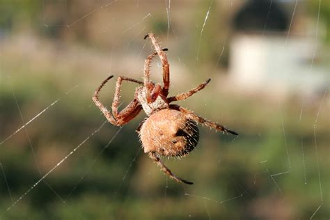 Garden Orb Spider Dangerous Orb Weaver Spider The Of Animals