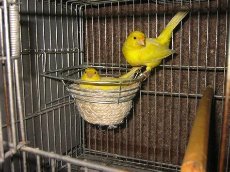 canario malinois aves exoticas