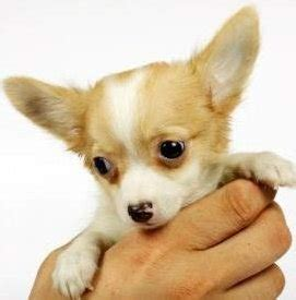 how many vaccinations do puppies need chihuahua puppy and vaccinations