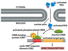 g protein quizlet c t signaling g protein coupled receptors flashcards