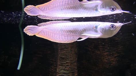 Lu Aquarium Arwana osteoglossum bicirrhosum 12 15cm arowana aqualux concept