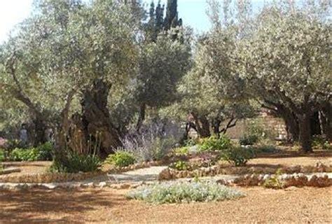 giardino dei getsemani israele l orto dei getsemani si svela agli studiosi