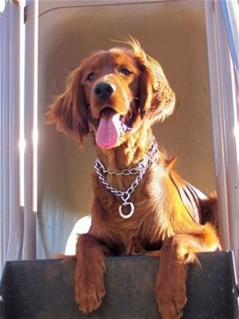 setter dogs 101 17 best images about irish setter dogs on pinterest
