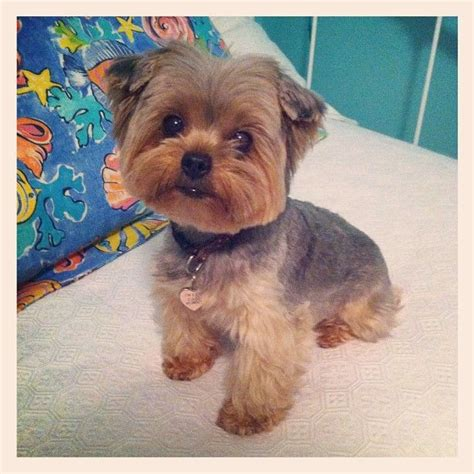 haircuts for dogs in andrews texas lilly yorkie dogs pinterest yorkies yorkie