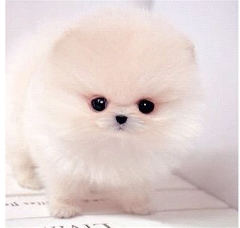 why is my pomeranian not fluffy 17 best images about baby pomiranian on tea cups yorkie and teacup pomeranian